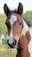 pinto Foal outdoor, head close up