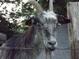grey Goat Animal