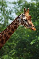 african giraffe with long neck
