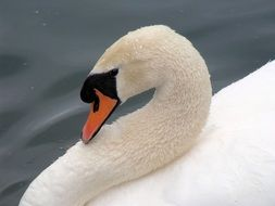 elegant white swan close-up