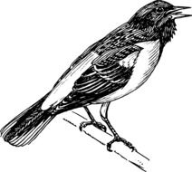 Oriole Baltimore, songbird, white and black illustration