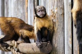 imprisoned yellow breast capuchins