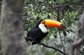 Tropical Toucan bird in the rainforest