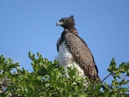 Martial Eagle on tree at sky, side view