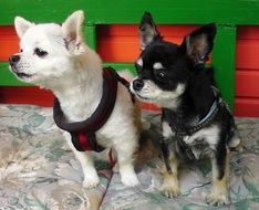 Black and white chihuahuas