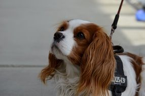 Cavalier King Charles Spaniel on a walk