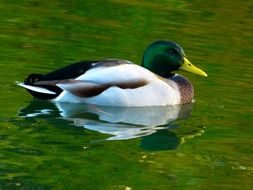 Duck with the grean head and yellow beak