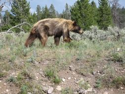 brown bear in the yellowstone national park