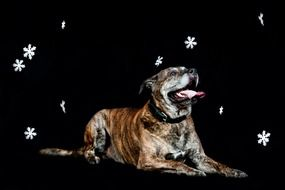 portrait of a dog on a black background