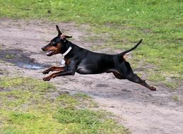 jumping miniature pinscher