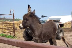 young brown donkey at the farm