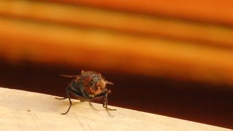Housefly Fly