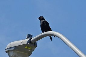 American Crow on street lamp sitting