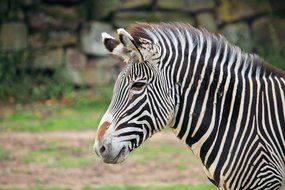 striped african zebra