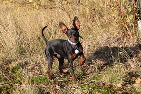 playing miniature pinscher