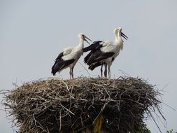 young storks awaiting parents
