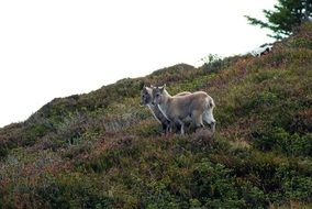 Alpine Ibex Animals