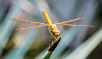 closeup of a yellow dragonfly on grass