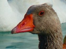 goose with red beak