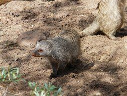 curious Banded Mongoose