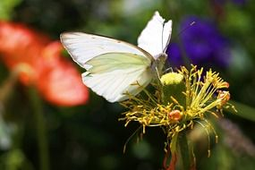 big white Butterfly