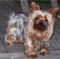 well-groomed yorkshire terrier