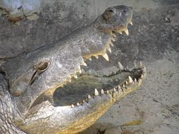 dangerous toothy crocodile with open mouth
