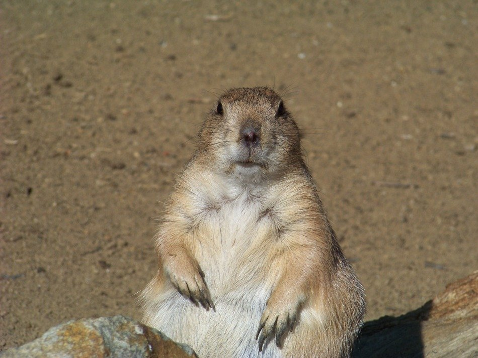 charming Rodent Marmot