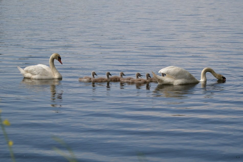 swans with chicks on the pond