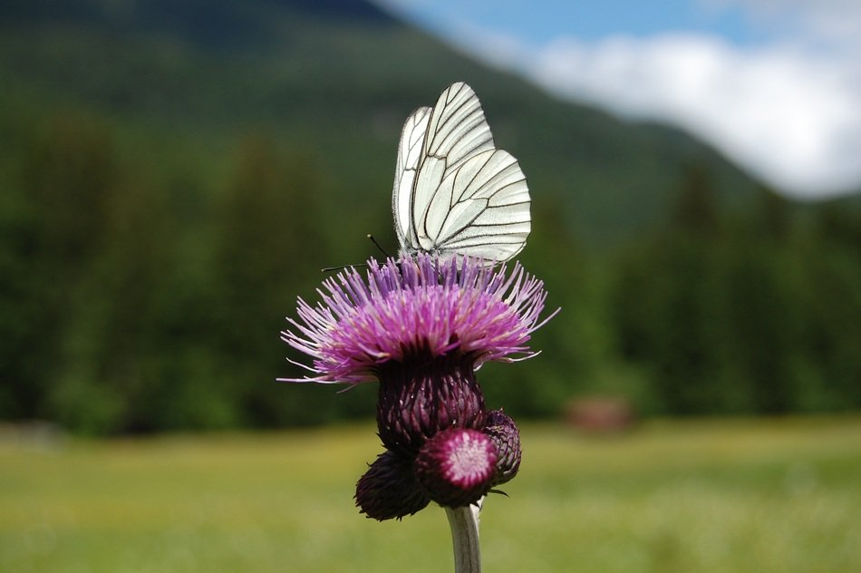white butterfly on the thistle
