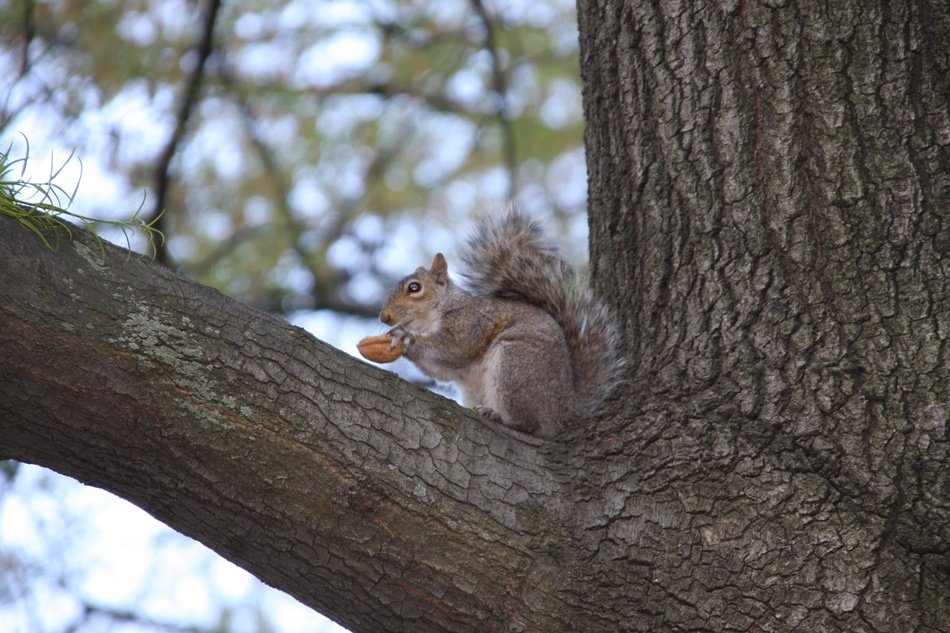 squirrel with nut on the tree branch