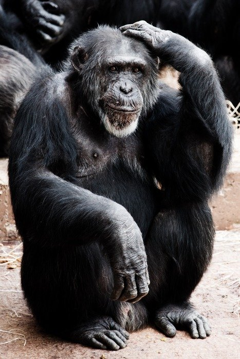 smart chimpanzee in a zoo
