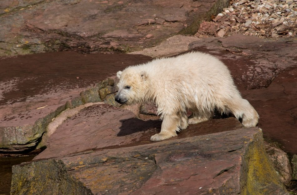cute young white bear in the zoo