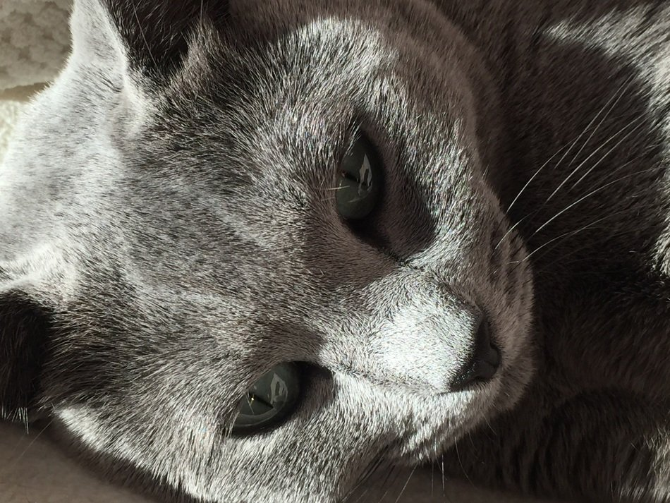 portrait of a russian blue cat
