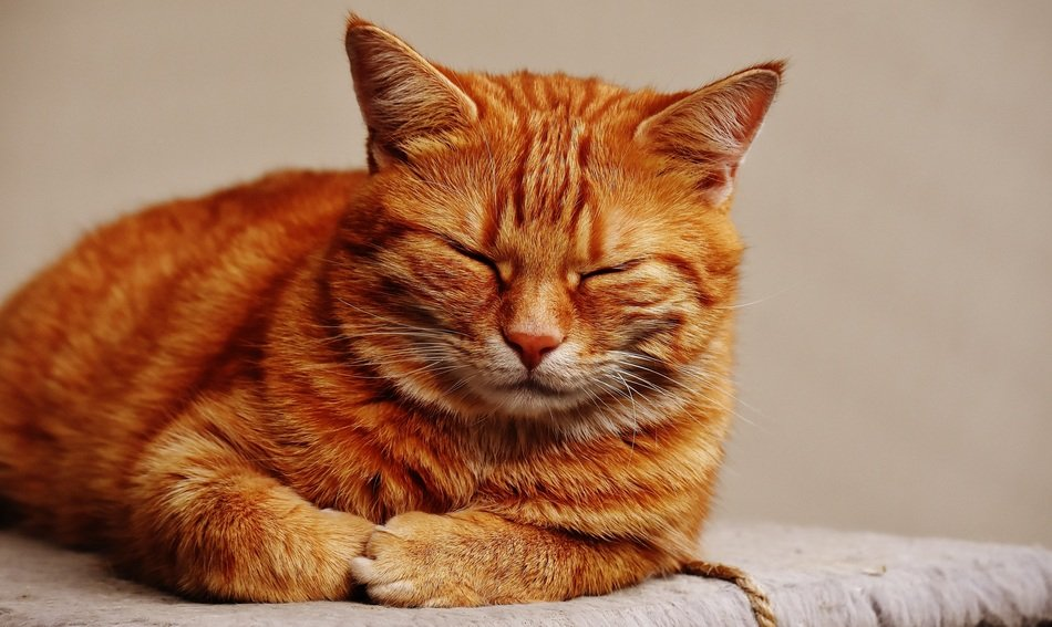 dozing cuddly red cat