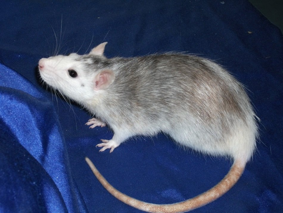 domestic rat on the blue background