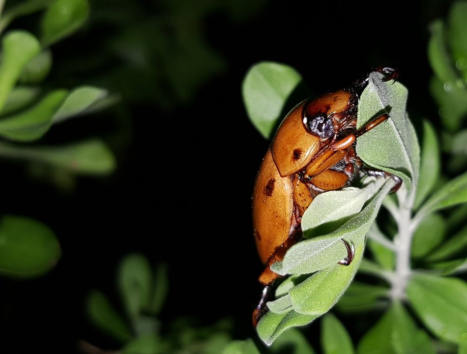 grapevine beetle at night