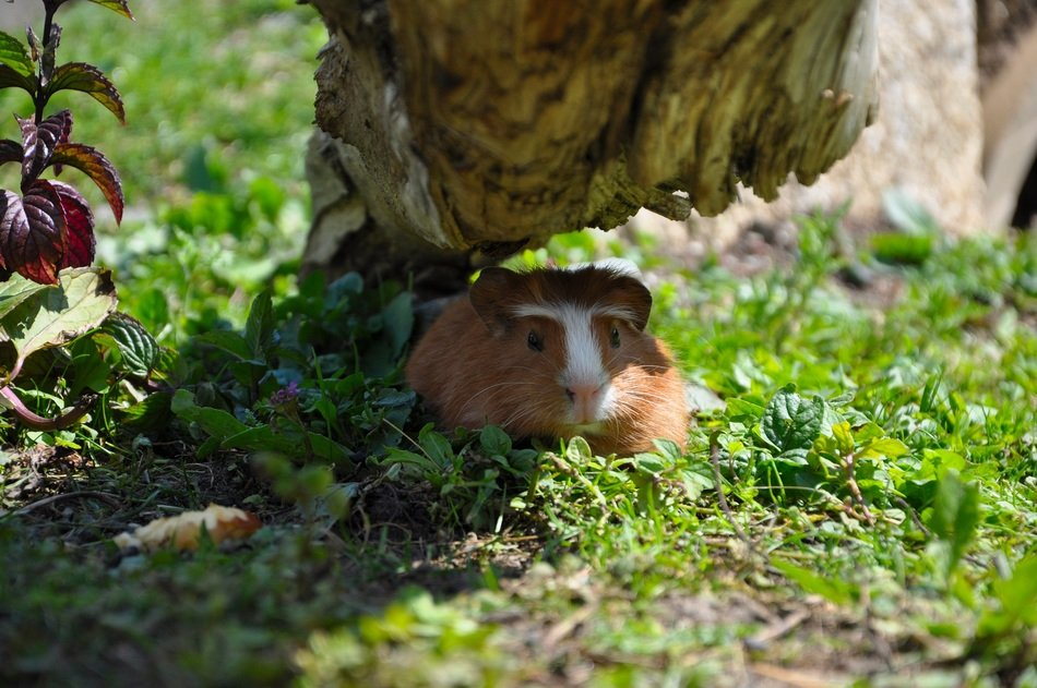 guinea pig in a hiding place