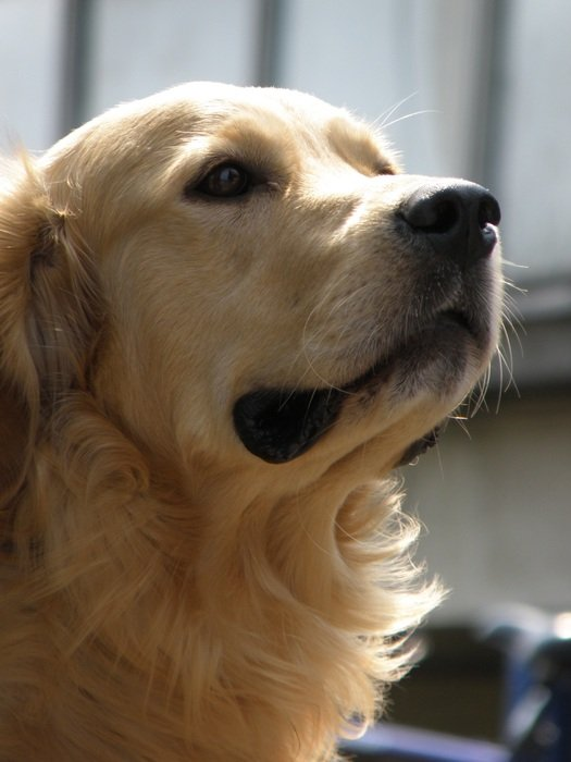 charming Golden Retriever dog