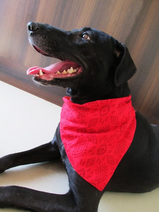 black dog in bandanna