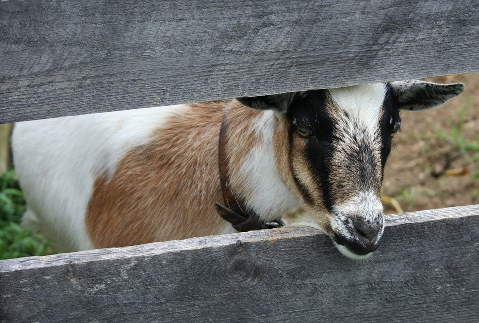 goat behind a wooden fence on a farm