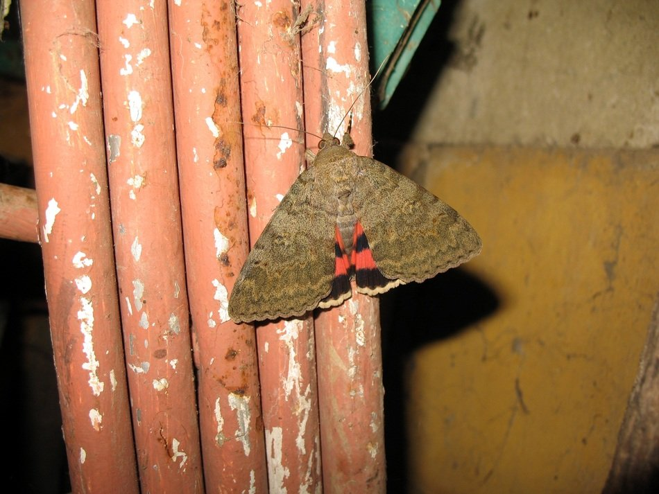 grey red butterfly