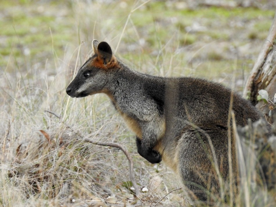 standing swamp wallaby in wildlife