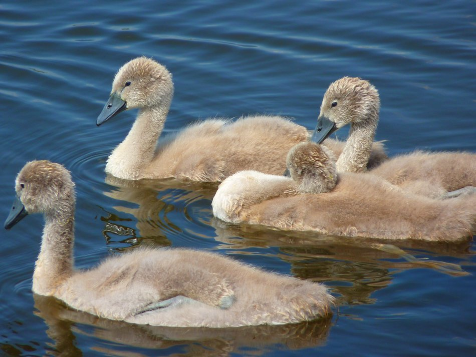 Swans Chicks Young