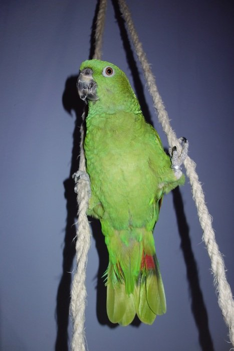 climbing yellow neck amazone parrot