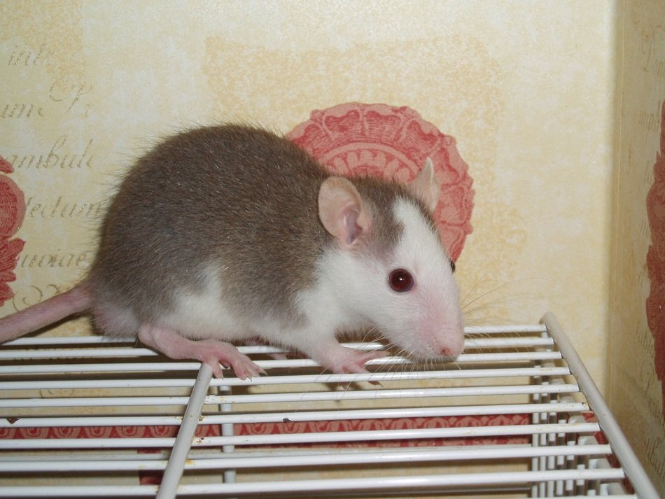 grey and white domestic rat