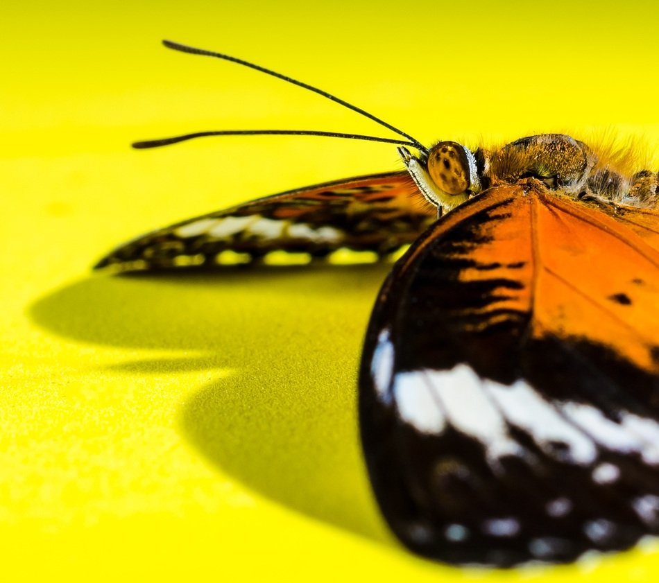 butterfly on the yellow background