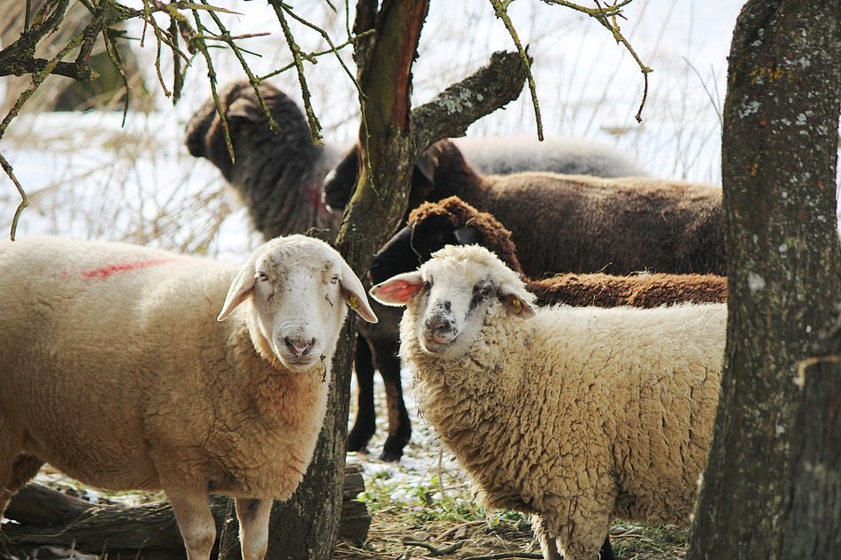 domestic sheep on pasture in winter
