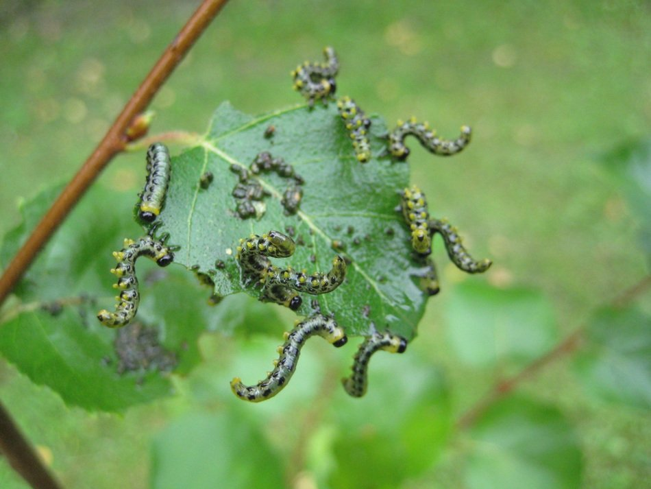 caterpillars eating birch leaf