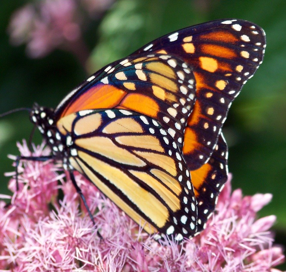 monarch butterfly on the fluffy pink flower